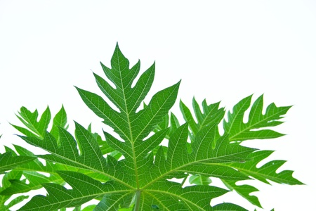 Papaya green leaf on isolate white background photo