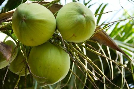 green coconut on tree Stock Photo - 17173022