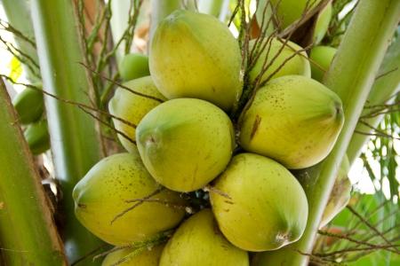 green coconut on tree Stock Photo - 17173021