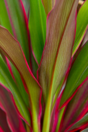Cordyline leaves background photo