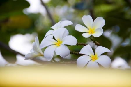 leelawadee: beautiful flower in asia, white leelawadee flower