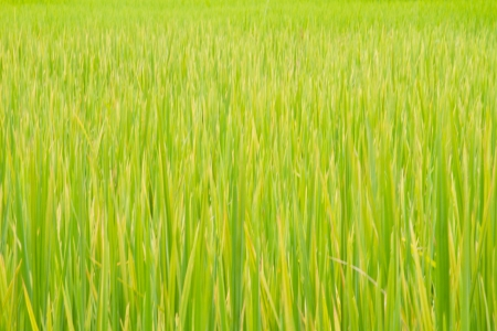 rice green field background photo