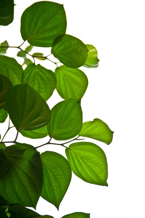 Green betel leaf isolate white background photo