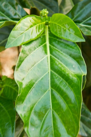 Morinda is a genus of flowering plants in the madder family photo