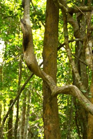 Monkey Ladder lianas  Bauhinia sp   in tropical rain forest Thailand photo