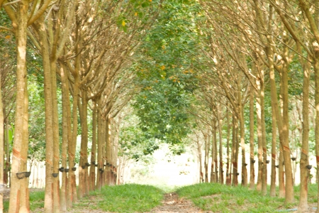 rubber plantation in Thailand photo