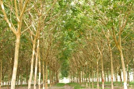 rubber plantation in Thailand photo
