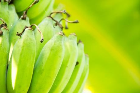 Green banana on tree Фото со стока