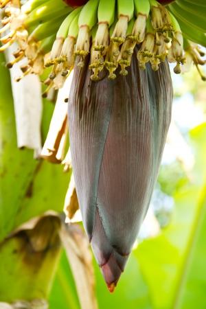 Banana flower on tree photo