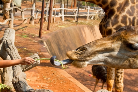 Tourist feeding a giraffe at the zoo  Korat zoo Thailand photo
