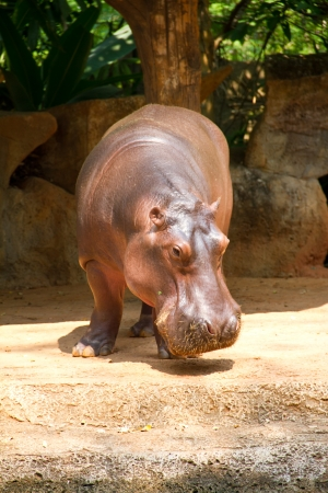 Hippopotamus is semi-aquatic, inhabiting rivers and lakes Stock Photo