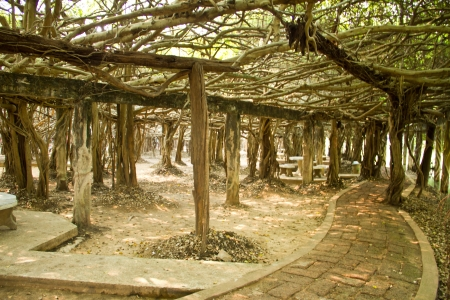 Banyan tree roots photo
