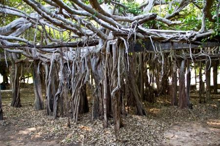 banyan: Primer plano de las ra�ces del �rbol de banyan