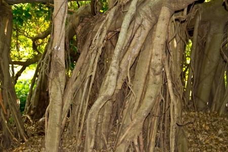 Close-up of banyan tree roots photo
