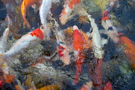 koi fish underwater Stock Photo - 19136946