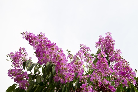 pers: Queens crape myrtle flowers or Queen s flower, Lagerstroemia inermis Pers on white background Stock Photo