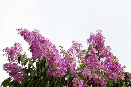 pers: Inthanin Flower or Queen s flower, Lagerstroemia inermis Pers, Queen s crape myrtle