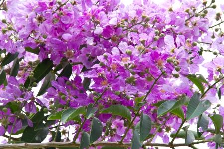 pers: Inthanin Flower or Queen s flower, Lagerstroemia inermis Pers, Queen s crape myrtle