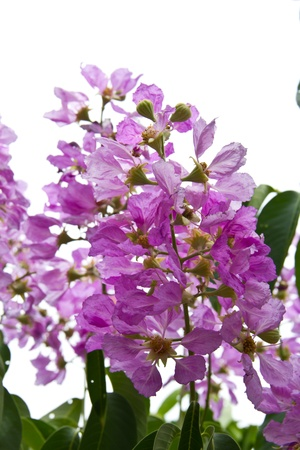 pers: Inthanin Flower or Queen s flower, Lagerstroemia inermis Pers