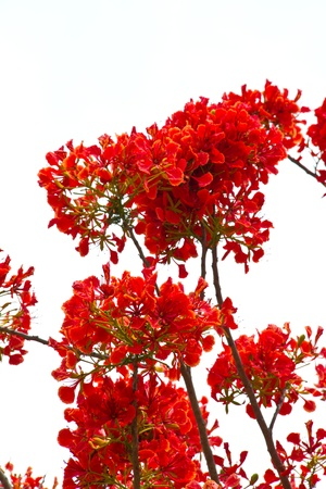 Flame tree or Royal Poinciana blossom