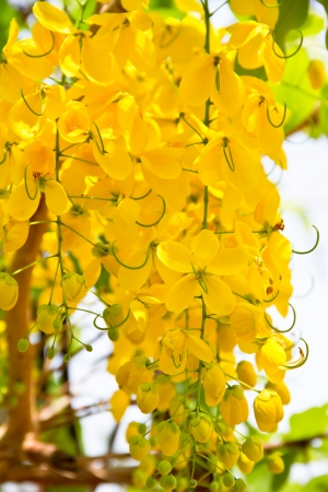 Golden Shower flower photo