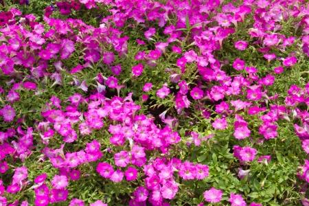 hybrida: Blooming Petunia Hybrida