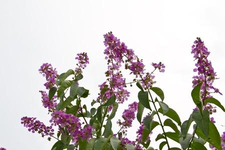 pers: Queens crape myrtle flowers Stock Photo