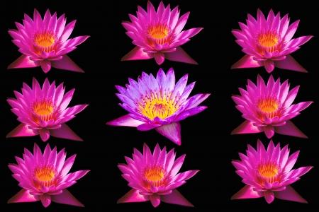 Pink lotus isolated black background photo