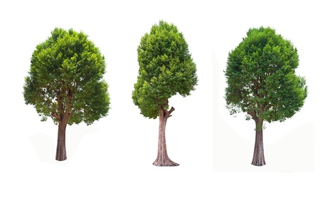 Collection of Irvingia malayana tree, tropical tree in the northeast of Thailand isolated on white background
