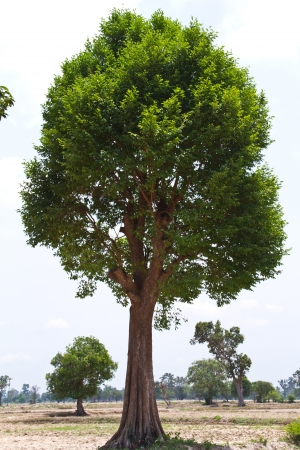 Irvingia malayana tree, Lagerstroemia macrocarpa Wall or Kayu also known as Wild Almond, tropical tree in the northeast of Thailand Stock Photo