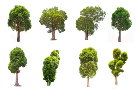 Collection of Irvingia malayana tree, tropical tree in the northeast of Thailand isolated on white background photo