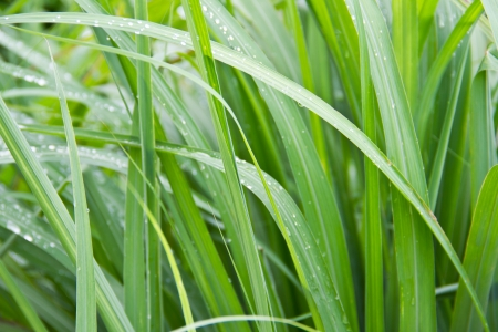 lemon grass leaf background Stock Photo