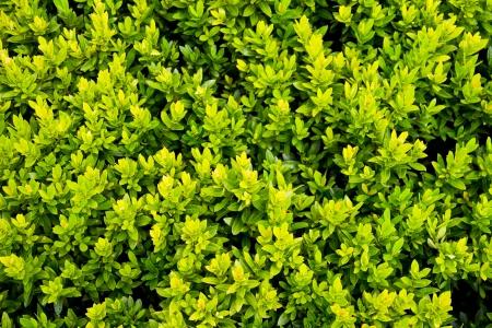 Lxora or West Indian Jasmine Green Leaves background photo