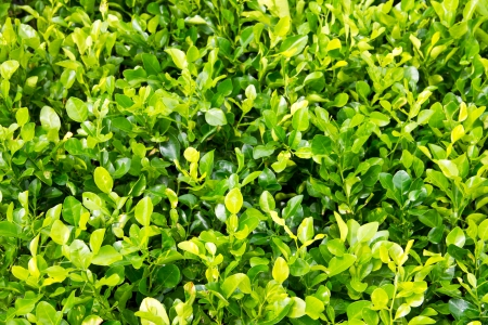 Kaffir lime leaves green background photo