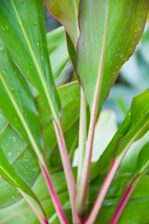 cordyline: Cordyline leaves background
