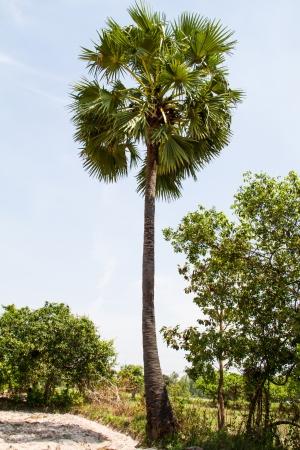 cambodian palm: Borassus flabellifer, conosciuto con diversi nomi comuni, tra cui Asian Palmyra palma, Toddy palma, zucchero di palma, o di palma cambogiana, albero tropicale nel nord-est della Thailandia