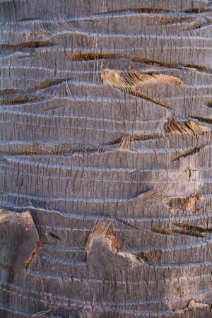 cambodian palm: Bark of Borassus flabellifer, known by several common names, including Asian Palmyra palm, Toddy palm, Sugar palm, or Cambodian palm, tropical tree in the northeast of Thailand