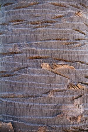 cambodian palm: Corteccia di Borassus flabellifer, conosciuto con diversi nomi comuni, tra cui Asian Palmyra palma, Toddy palma, zucchero di palma, o di palma cambogiana, albero tropicale nel nord-est della Thailandia