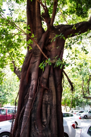 Banyan tree trunk roots with carvings  photo