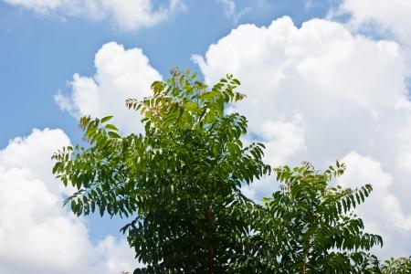 neem: Neem leaf with blue sky and cloud