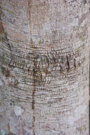 Bark pattern, bark of Rubber tree in the northeast of Thailand photo