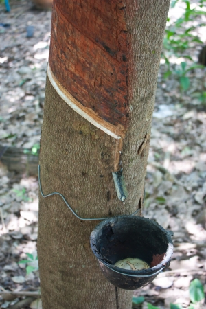 extracted: Milky latex extracted from rubber tree  Hevea Brasiliensis  as a source of natural rubber Stock Photo