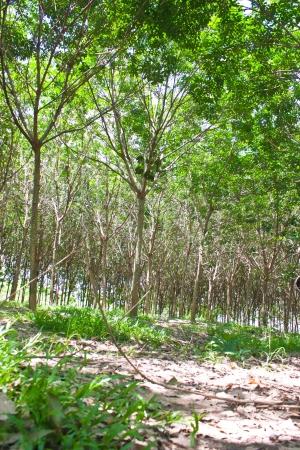 Rubber tree plantation photo
