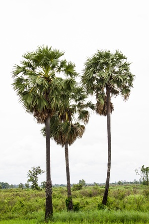 cambodian palm: Borassus flabellifer, known by several common names, including Asian Palmyra palm, Toddy palm, Sugar palm, or Cambodian palm, tropical tree in the northeast of Thailand