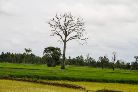 Tree dead dry on the rice field photo
