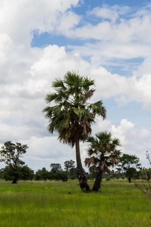 Sugar palm tree photo