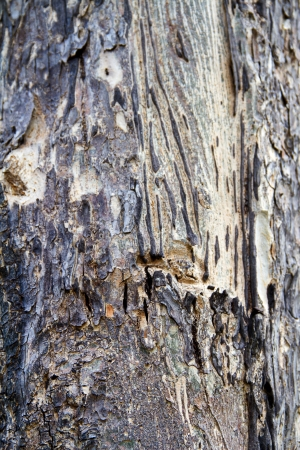 Bark of Lagerstroemia calyculata Kurr, tropical tree in the northeast of Thailand Stock Photo - 21433172