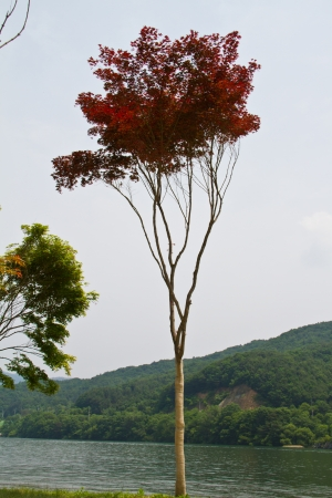 Maple tree at Nami Island, South Korea photo