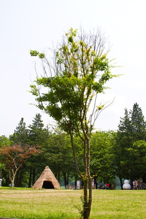 Maple green tree at Nami Island, South Korea photo