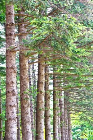 sonata: Pine tree at Nami island, South Korea Stock Photo